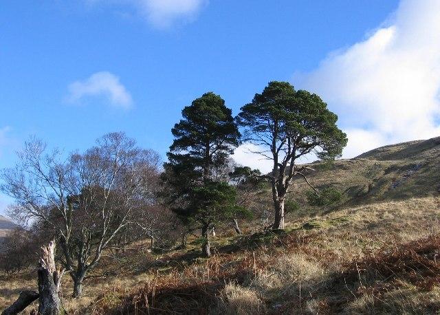 Pines, Glen Auchreoch