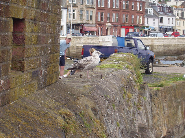 Millport & young gull
