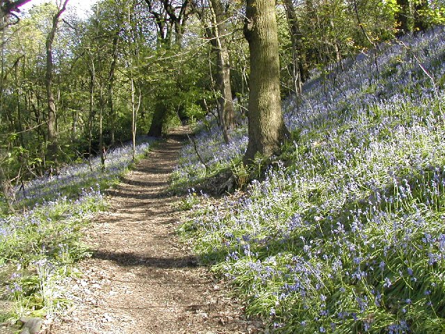 Bluebells on Woodhouse Ridge