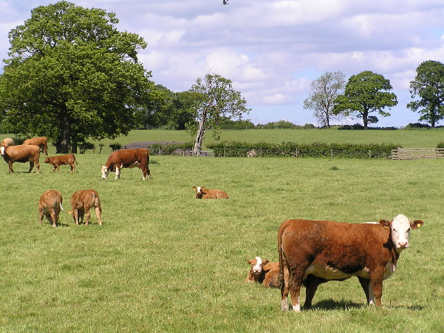 Cattle grazing next to Bow Wood