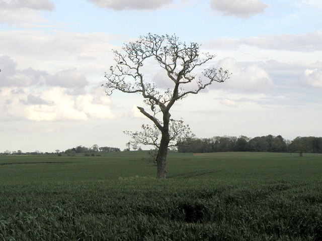 A solitary tree in a field.