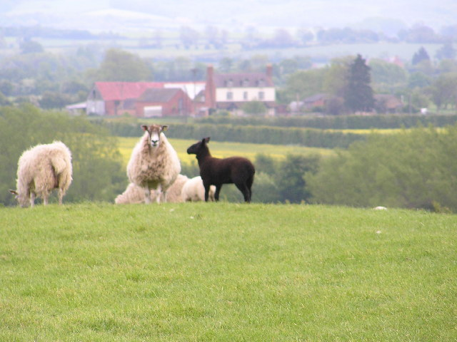 Black Lamb at Cowsden