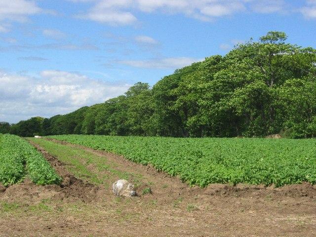 Potato crop, Aberlady Mains.