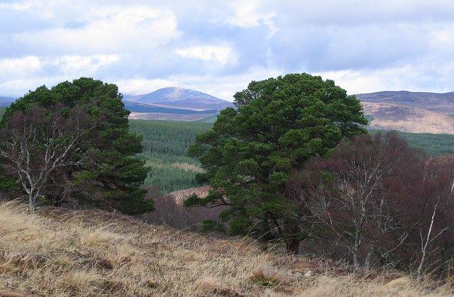 Old pines, Allt nan Caisean