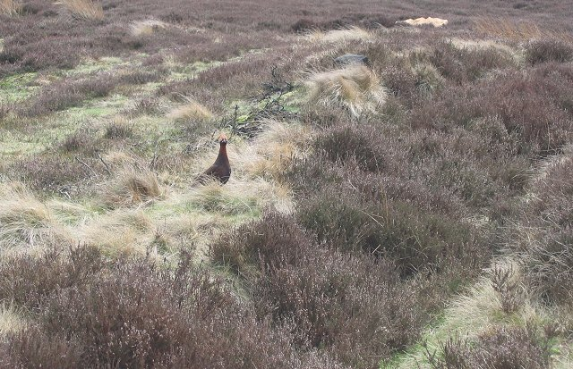 Grouse on Urra Moor.