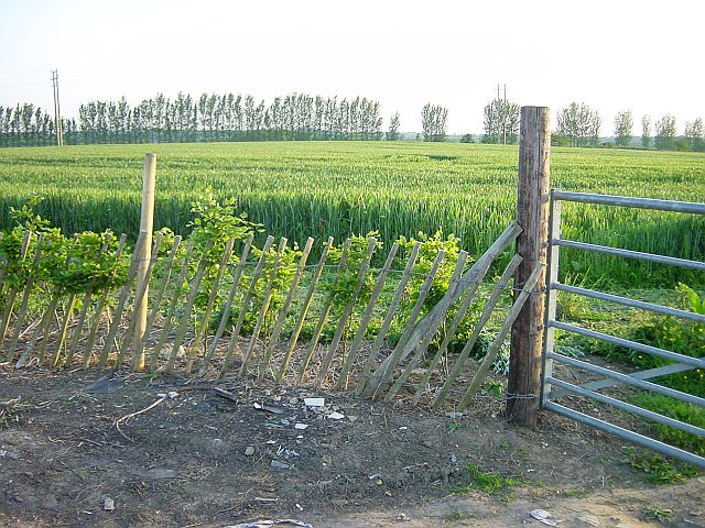 New Beech Hedge
