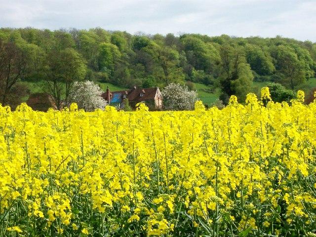 Field of rape at Idsworth farm