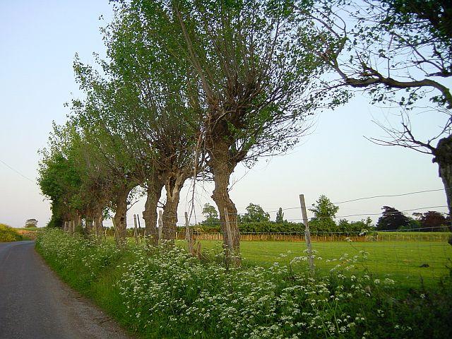 Pollarded Poplars