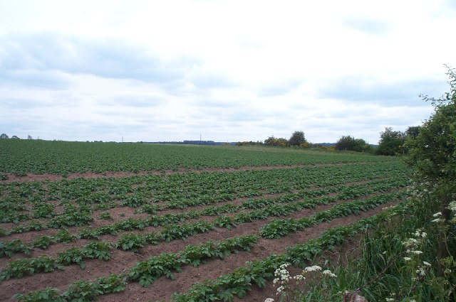 Field of Potatoes