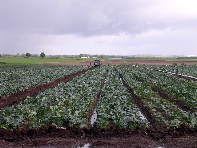 Busy with the brassicas!