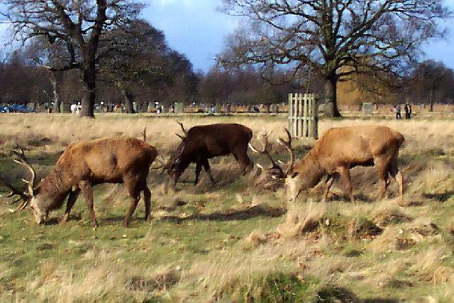 Deer Park Deers Deer in Bushy Park Deer Park