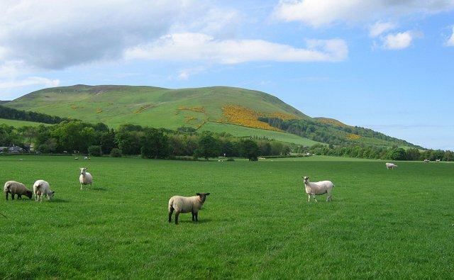 Sheep grazing, Easter Howgate
