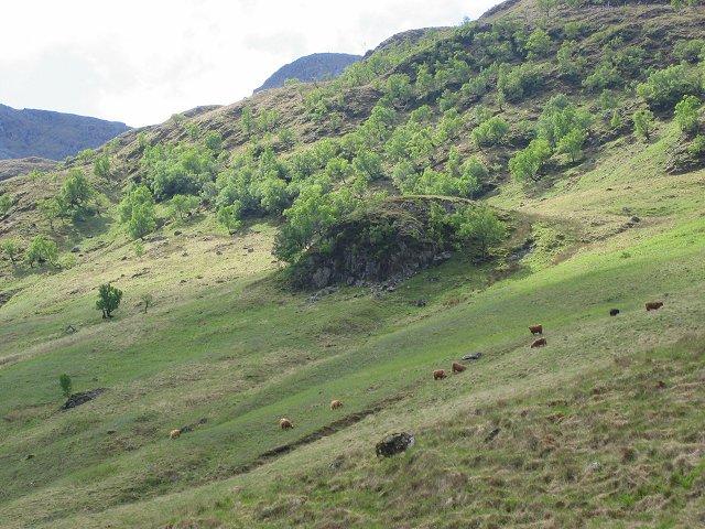 Cattle in Gleann Meadail