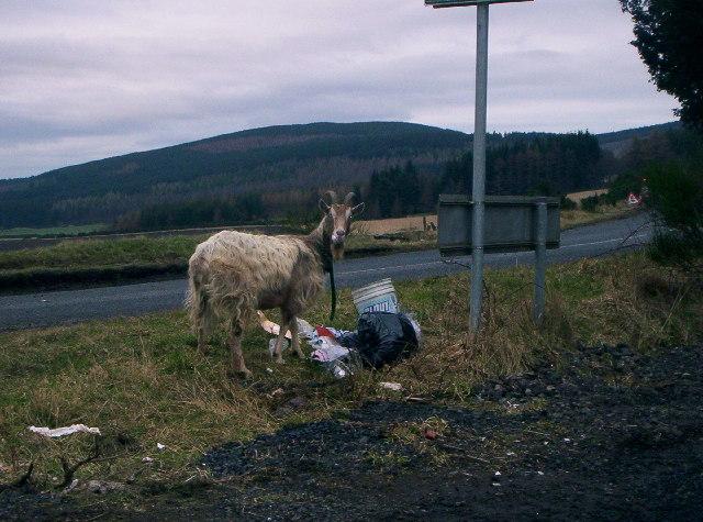 Goat  / Bottom of TV Mast Road / Slug Road, Banchory