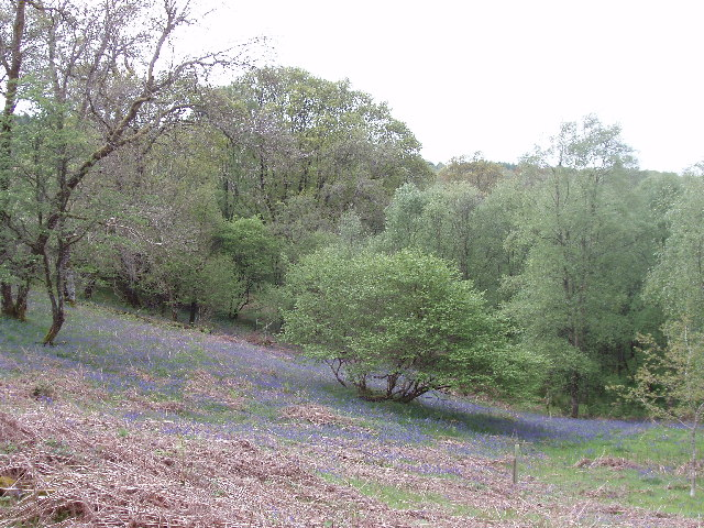 Bluebells by Caldons camp site, Glen Trool