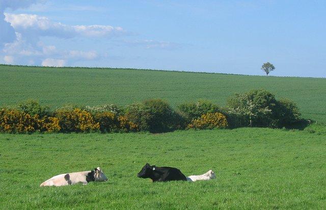 Cattle, Carnbee.
