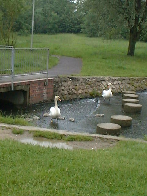 Cygnets at Linear Park