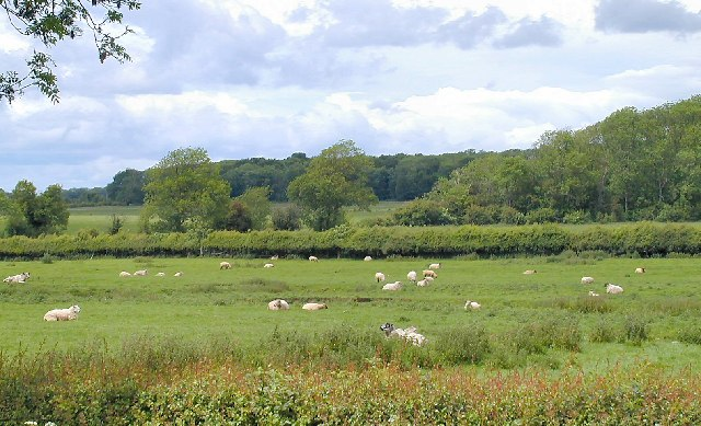 Sheep and Woods in Costock