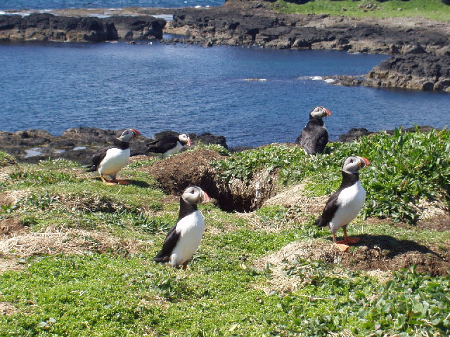 Puffins on the island of Lunga