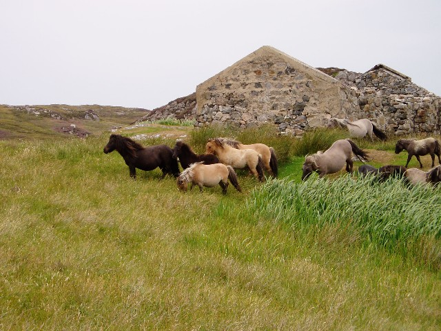 Ponies by a ruined house, Loch Sgioport