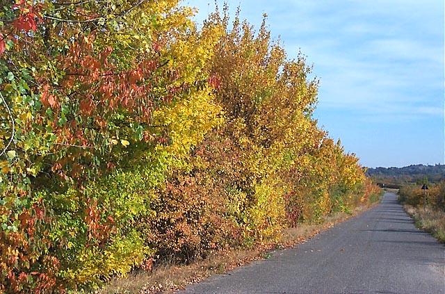 Autumn Hedge, Newthorpe