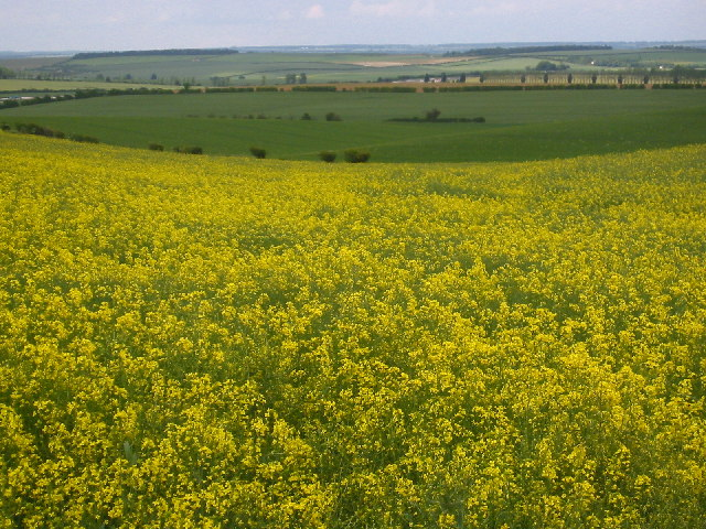 Rape crop near Wallington