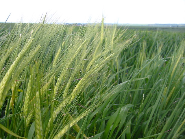 Barley field near Wallington