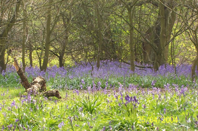 Bluebells in April