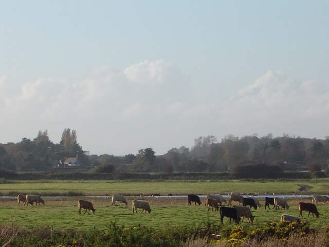 Cows grazing in meadow Aldeburgh Suffolk