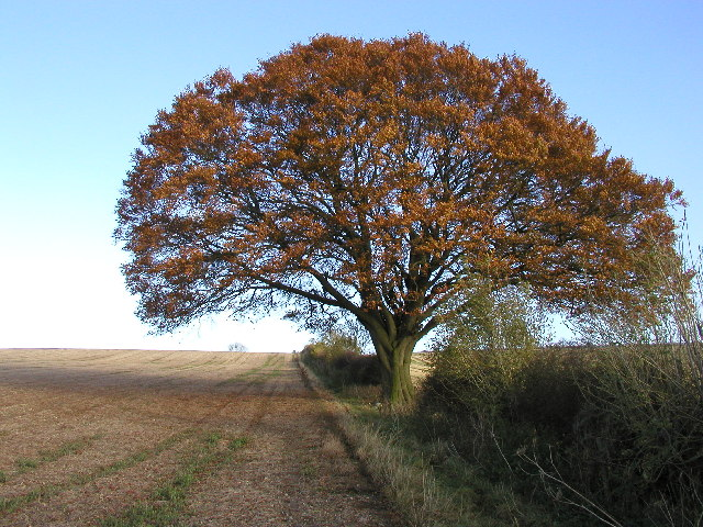 Autumnal Tree