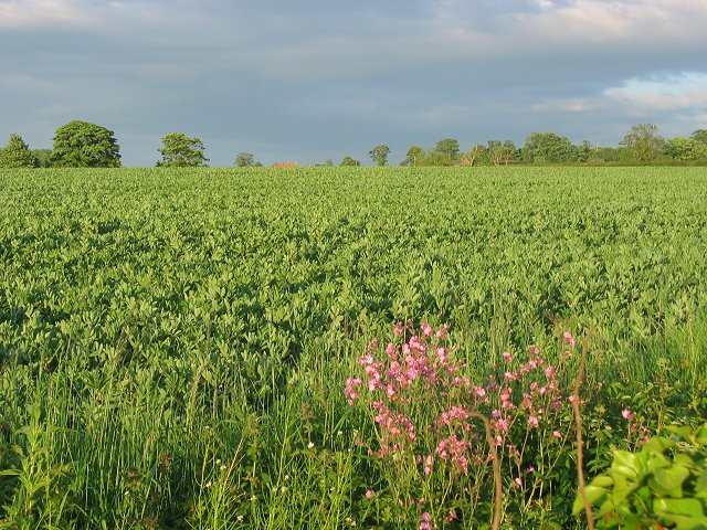 Broad bean field, Longniddry