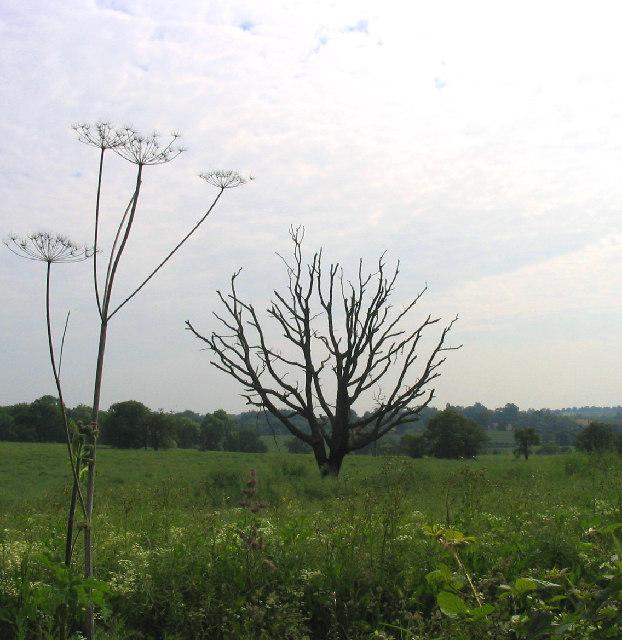 Field and tree, Beredens Lane, Great Warley, Essex