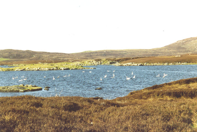 Whooper swans on Loch an Duin, from the Lochportain road, N. Uist.
