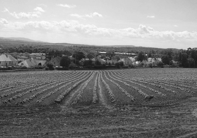 Potato field in Haddington.