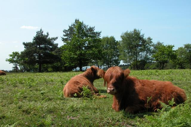 Highland cattle grazing on Hindhead common.