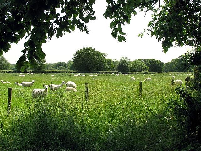 Sheep Pasture at Shinfield