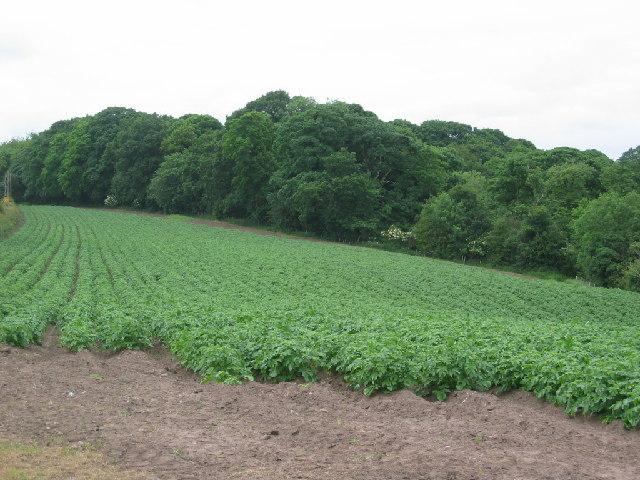 Potato field close to Owley Wood