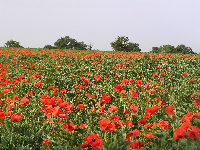 Poppies and Beans near Spetchley.