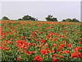 SO9154 : Poppies and Beans near Spetchley. by Richard  Dunn