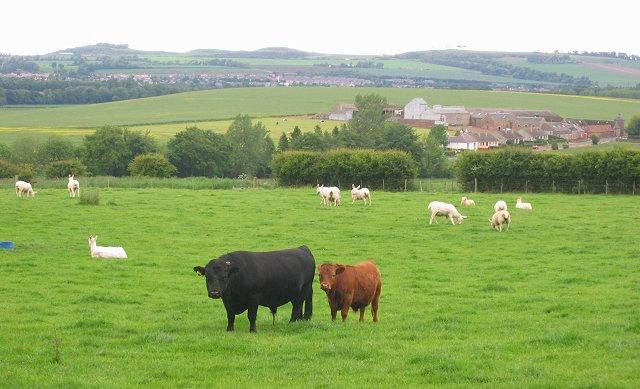 Dexter cattle , Bolton.