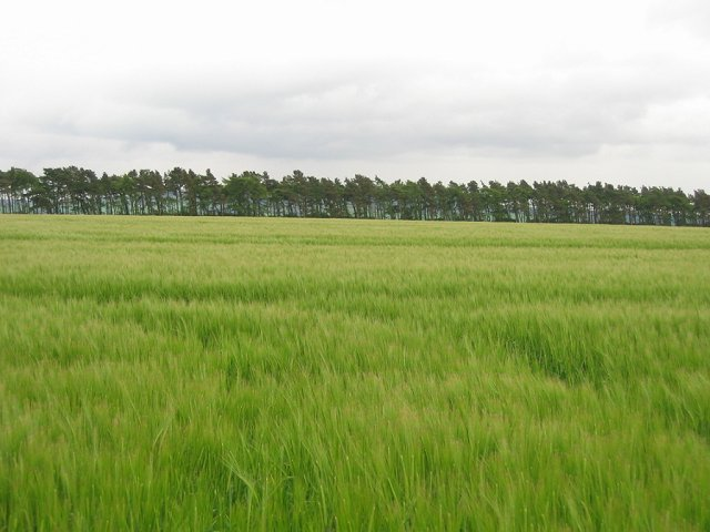 Barley, Greenlaw