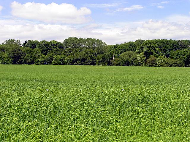 Barley Field near Bradfield