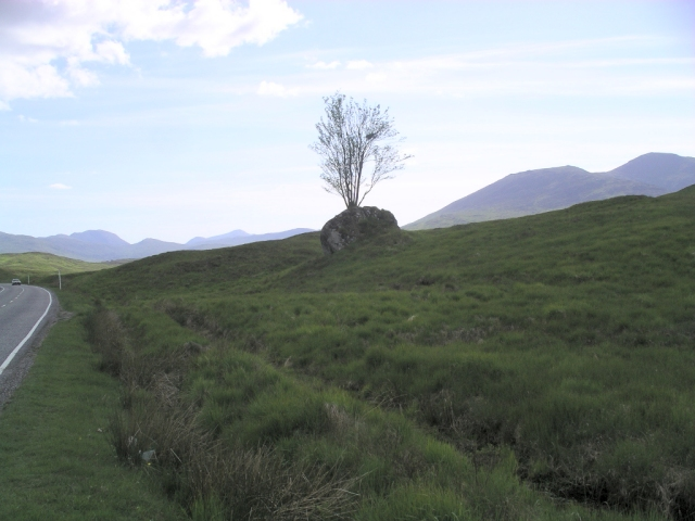 The Rannoch Rowan