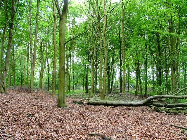 Beech, Coalmire Woods