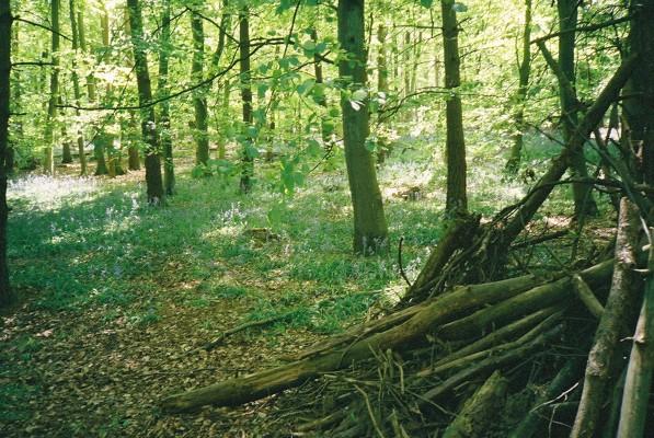 "Bluebells in ""Winter Wood"""
