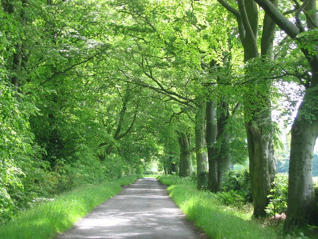 Beech lined lane, Gairney