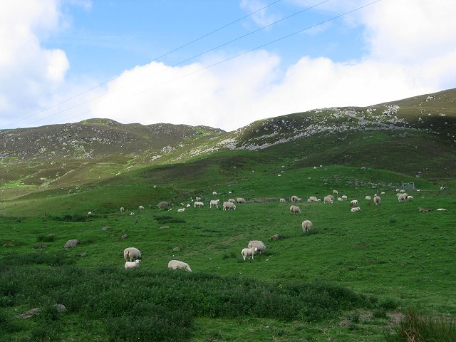 Sheep grazing, south slopes of Mount Blair.