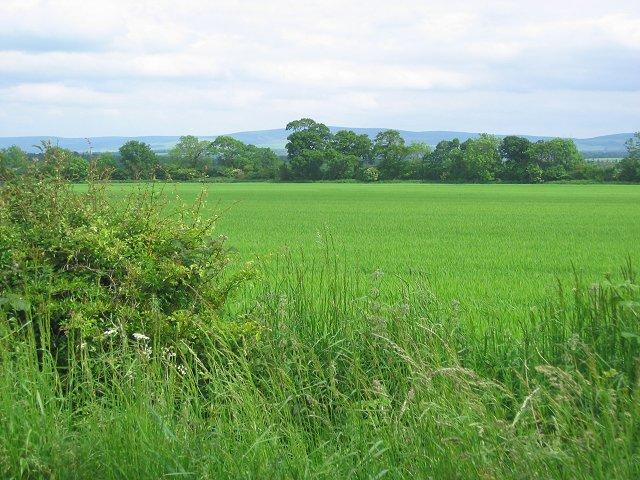 Barley field, Buxley
