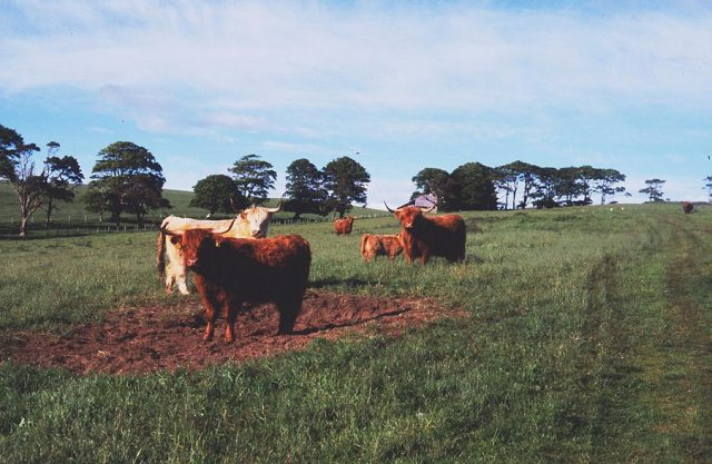 Cattle, Hill of Nigg.
