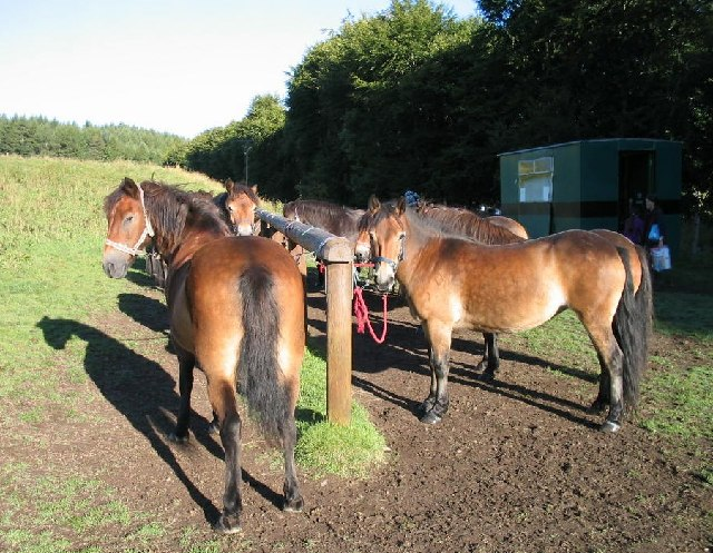 Exmoor ponies waiting to go out on a trek